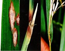 blb-hawar-daun-bakteri-penyakit-kresek-padi