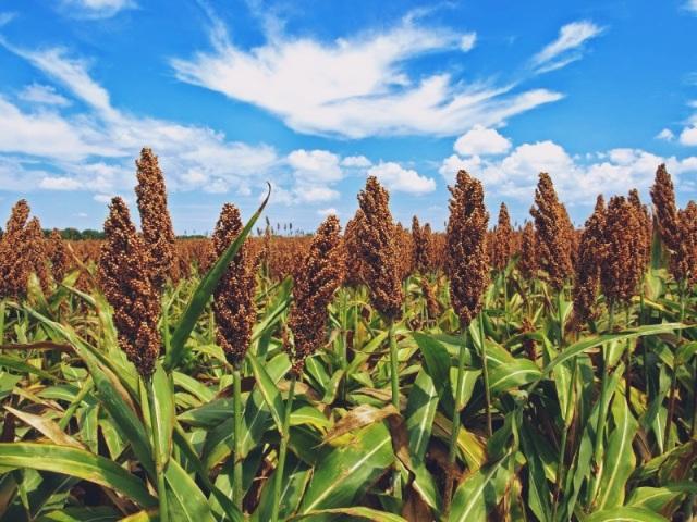 sorghum-the-next-big-gluten-free-grain