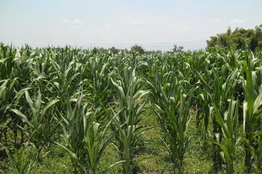 tanam-jagung