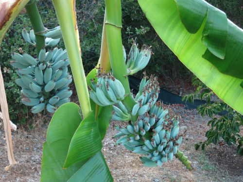 Blue Java Banana