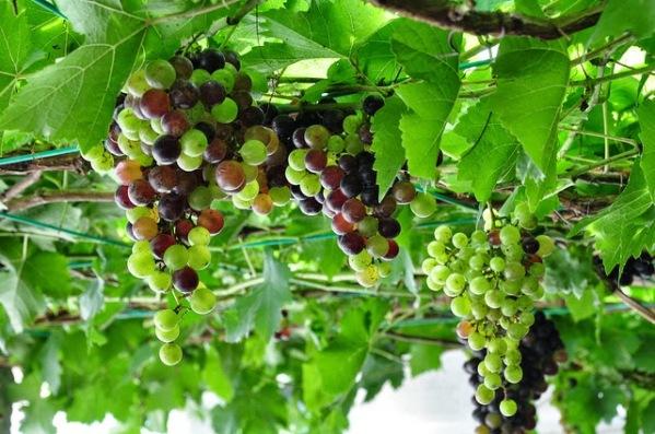 Hama Buah Anggur