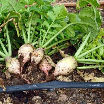 Tanaman Turnip